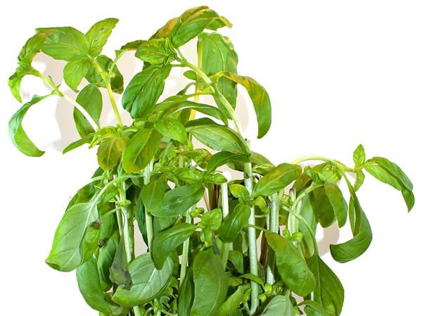basil-potted-plant-1013tm-pic-1041