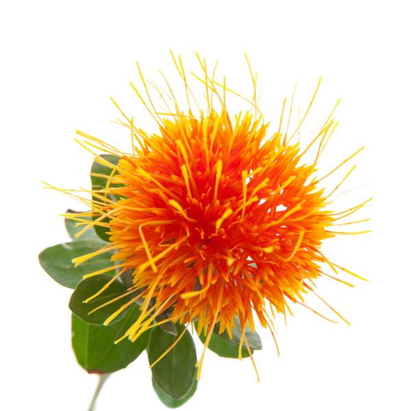 ประโยชน์และสรรพคุณของดอกคำฝอย